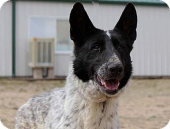 Pictures of Blackberry a German Shepherd Dog for adoption in Colorado Springs, CO who needs a loving home.