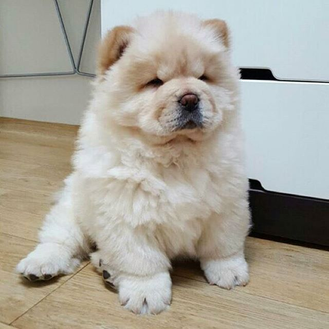 PHoTo : @chowchowbabo #animals #instaanimal #instapet #pets  #dogsofinstagram #dog #puppy #puppylove #instapuppy #puppies #woof #fluffy #paws #cachorro #babyanimals #chowchow #panda  #chowchowpuppy #anjing  #perro #강아지 #ペット #犬 #動物 #개 #わんこ #犬バカ部 #いぬ @_lestia  #پت  #حیوانات_خانگی  MY SPESIAL CHOW FRIENDS :  @SDSTaSiuK @DIGSBY_N_CiNDeReLLa_THe_CHoWS  @KHePeLKHaN.CHoWCHoW  ITaG YouR FRieNDs :