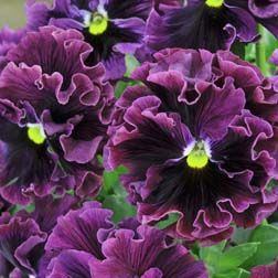 Pansy 'Frizzle Sizzle Burgundy, would look great loaded into a pot.