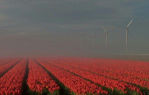 Tulip fields in the mist