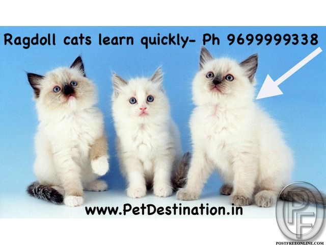 Ragdoll Cats Learn Quickly And Follow Their People From Room To Room 9699999338 In Mumbai Maharashtra India Cat Breeds Beautiful Cat Breeds Ragdoll Kitten