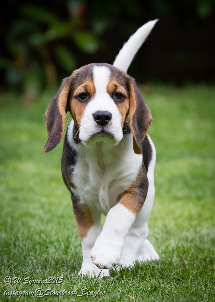 17 Best images about Beagles (Louie,Grace and pups) on Pinterest ...