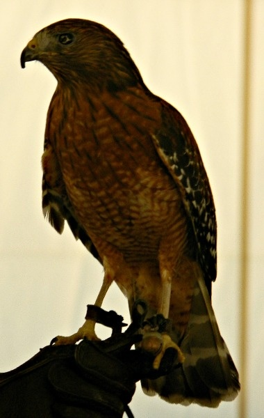 Red Shouldered Hawk At Teatown EagleFest In Croton On Hudson, NY