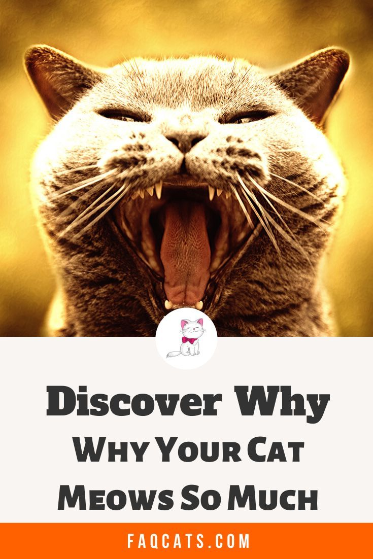 Why Cats Meow In 2020 Cats Cute Cats And Kittens Tabby Cat