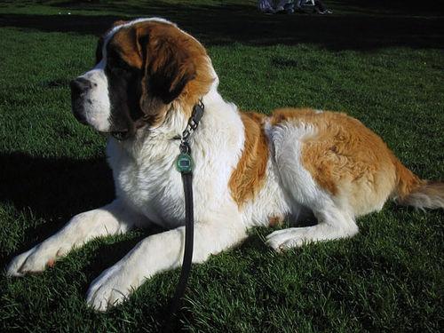 Saint Bernard breed profile, with video: http://petsadviser.com/breeds/saint-bernard-breed-profile/