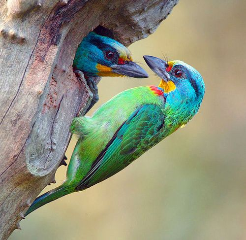 black-browed barbets: Watercolor Paintings, Birds Pictures, Birds Of Paradis, Bees Eater, Muller Barbet, Pretty Birds, Beautiful Birds, Photo, Animal