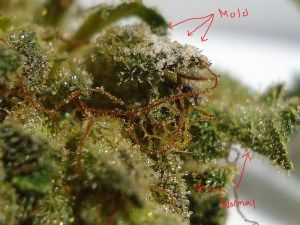 Moldy Weed – Effects, Causes, Detection, and Prevention