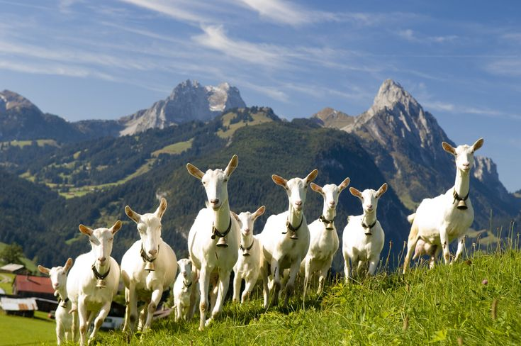 The hills are alive with the sound of goat bells!