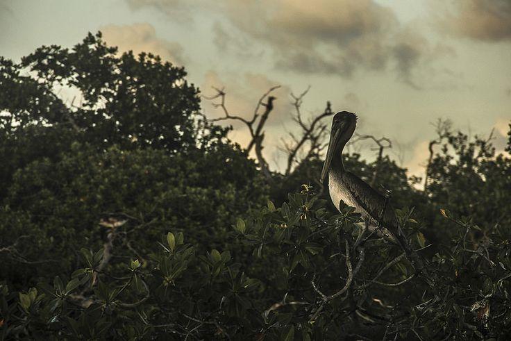 Pelícano | por wendyuska