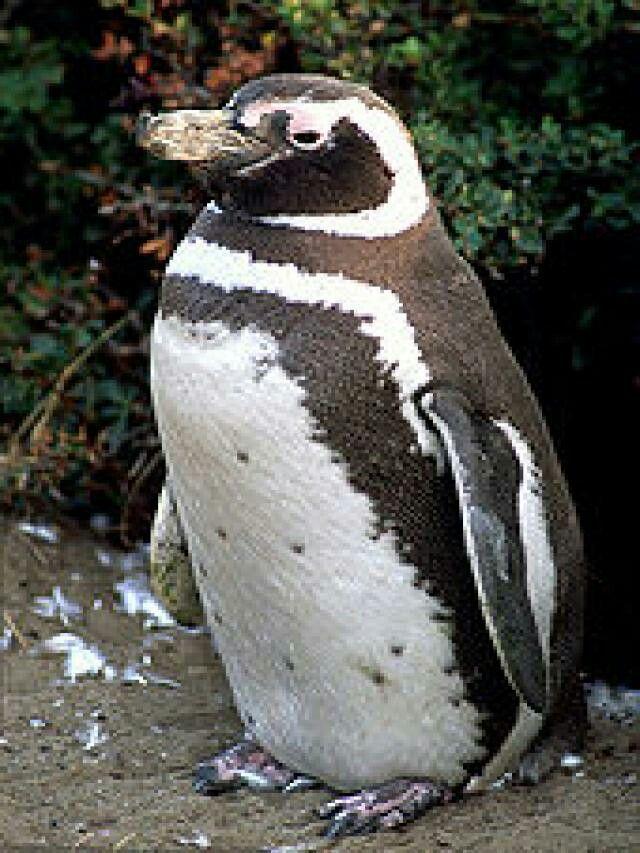 Pingüino De Magallanes o Pingüino Patagonico (Spheniscus magellanicus)El pingüino de Magallanes (Spheniscus magellanicus), también llamado pingüino patagónico, es una especie de ave de la familia de los pingüinos (Spheniscidae), que nidifica en las islas Malvinas y en las costas e islas de la patagonia de la Argentina y Chile, migrando hacia el norte en el invierno, alcanzando las aguas del Uruguay y el sudeste del Brasil con temperaturas más templadas, siendo sólo ocasional en Australia y…