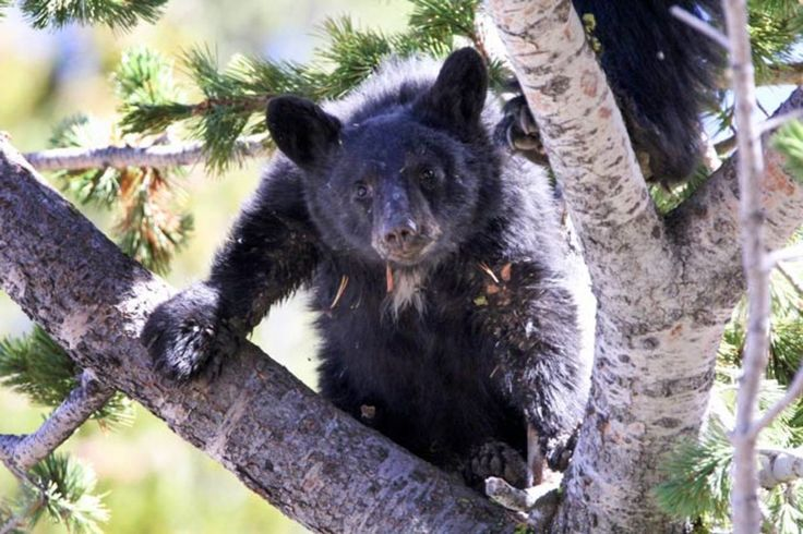 Important Food Source for Yellowstone Bears In Trouble. A history of fire suppression, rampant insect infestation, an invasive fungal plague, and global warning adds up to likely extinction for the whitebark pine.