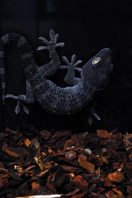 Tokay gecko (Melanistic morph?)