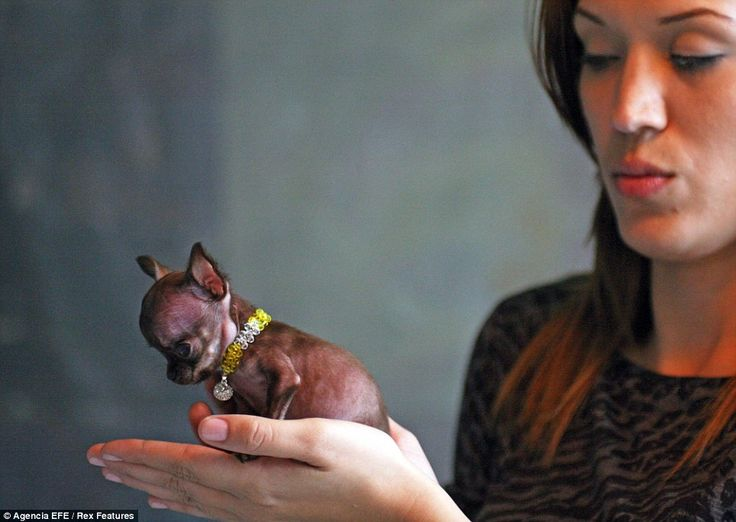 This tiny pup may have won the smallest dog in the world record but she has also scored a lifetime of health problems. Poor baby. Excessive trait breeding is wrong, wrong, wrong!