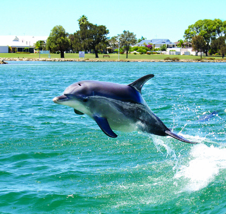 A Mandurah dolphin flying down the estuary! #dolphin #watching #cruise
