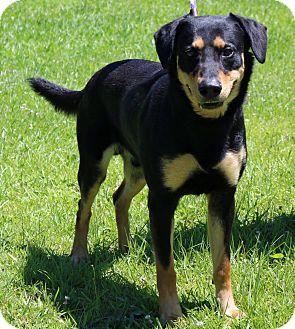 German Shepherd Dog/Labrador Retriever Mix Puppy for adoption in Newport, North…