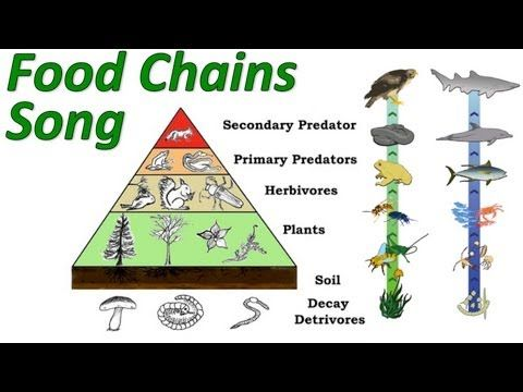Get lyrics and curriculum at http://www.sciencemusicvideos.com    This music video teaches about food chains and the pyramid of energy. Watch it a few times and you'll be completely on top of trophic levels and energy transfer.
