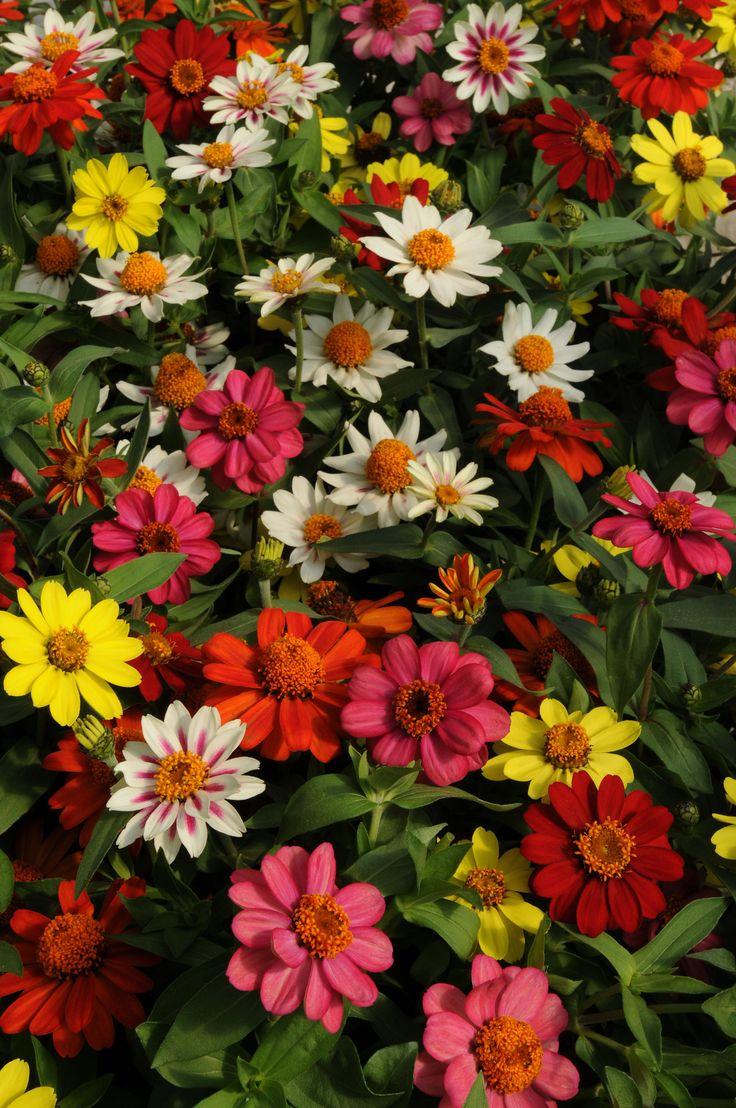 Zinnia Zahara Mix Ball Horticultural Co Spring 2014
