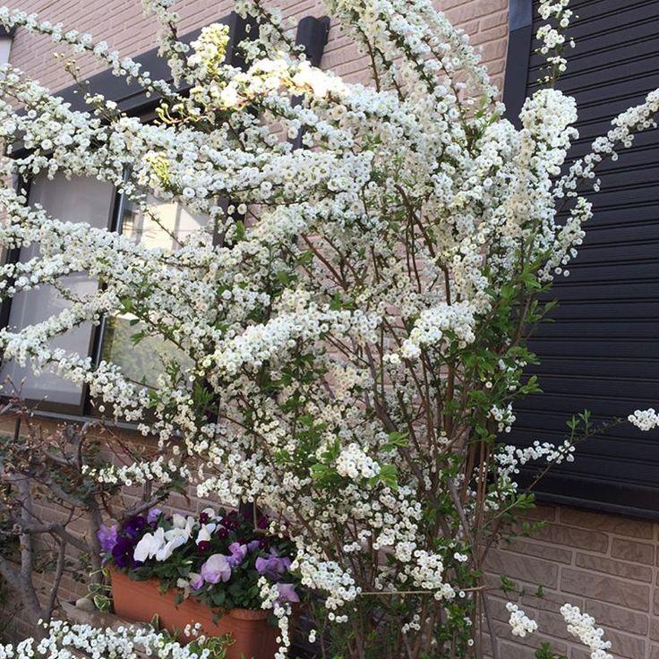 #しじみばな 真っ白で ひとつひとつよく見ると花びらたくさんでとっても可愛い花。ユキヤナギに似ているけれど、全然別物だそう…なんとバラ科だって😍  もっといい名前付ければメジャーになるだろうに…😅 🌸 #満開 #極小ビオラ#ビオラ#あずき #虹色スミレ #トールペイント#植木鉢#素焼き鉢