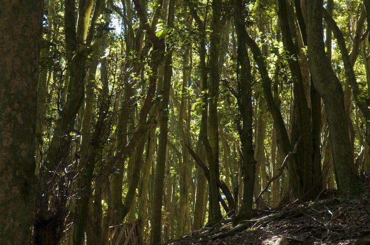 Bosque de olivillos cerro Santa Inés, Los Molles