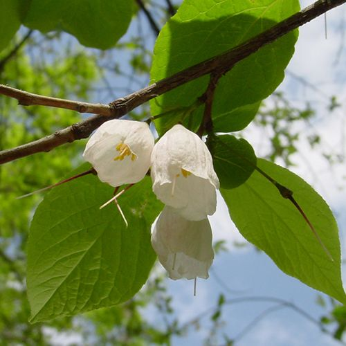 The 235 best flowering fruit and ornamental trees images on carolina silverbell small deciduous tree description white bell shaped flowers in spring soft mightylinksfo