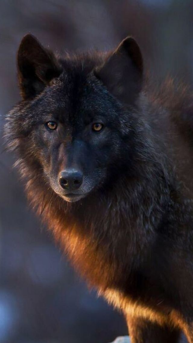 Wolf love...look at this lovely face!