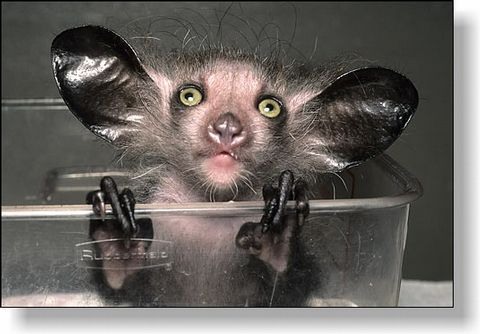 Many people native to Madagascar  believe that a look from the Aye-aye will mark your death.  They believe that the only way to remove this curse  is to kill the poor little creatures.  The Aye-aye has become critically endangered  and is now protected by law.
