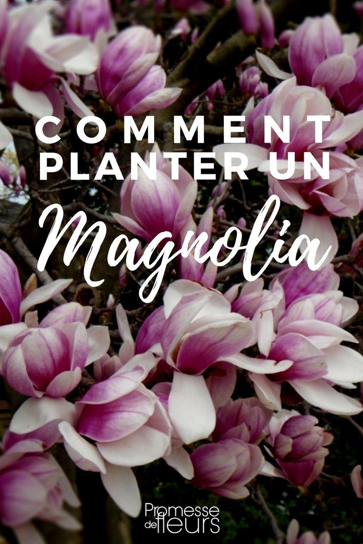 Magnolia: bien le planter en four étapes