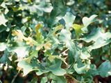 Commercially available native plant species suitable for planned landscapes in Oklahoma. Quercus stellata.  Post Oak.