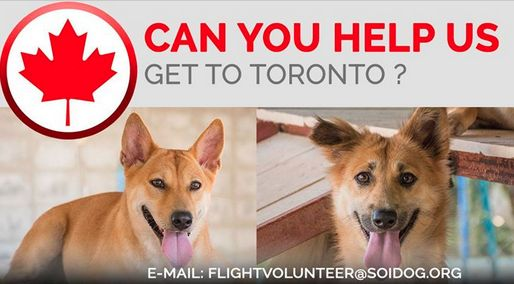 Can you help us get adopted dog to their new families? If you are traveling FROM Thailand TO Toronto, on BOOKED tickets with Thai Airways, All Nippon Airways (ANA), China Airlines, Qatar, Korean Air, JAL, EVA, Lufthansa or KLM, please EMAIL flightvolunteer@soidog.org for more information. https://www.soidog.org/content/become-flight-volunteer
