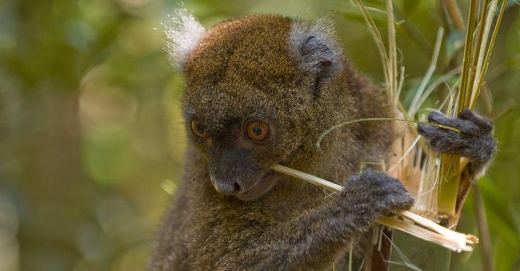 """Lêmur do bambu (""""Prolemur simus""""), espécie de Madagascar, na África, é uma das cem espécies mais ameaçadas do mundo, segundo relatório da IUCN. De acordo com a instituição, cerca de 91% dos lêmures da ilha africana correm risco de desaparecer do planeta"""