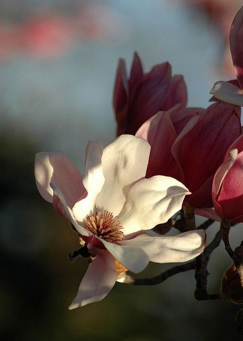 Magnolia Tulipa