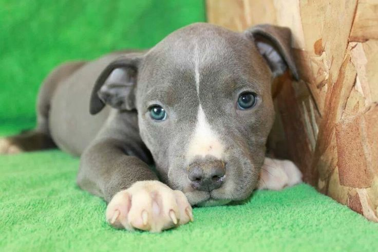 how to train your pitbull puppy tricks