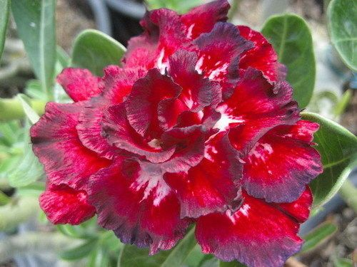 Cheap flowering plants seeds, Buy Quality adenium obesum seeds directly from China desert rose Suppliers: This Auction is for Adenium Obesum Seeds<5 Seeds>Fresh SEEDS