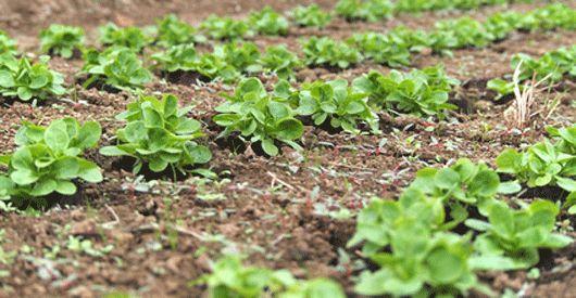 Feldsalat (Valerianella locusta) sollte zwischen Anfang August und spätestens Ende August an den Start gehen