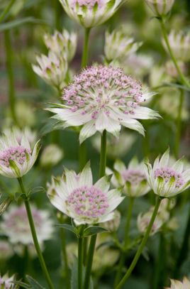 Astrantia 'Buckland'  - all the astrantia's are supposed to cope with shade and wet so might give them a try.