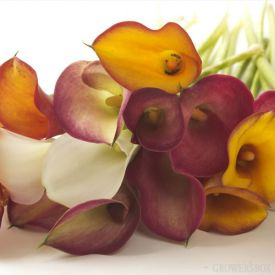Wholesale Mini-Calla Lilies are widely used in bouquets and arrangements of wedding flowers. Their exceptional size and availability in fun colors makes these flowers highly sought after and widely used throughout the floral industry. Shipped year-round from Central and South America, Mini-Calla Lilies are an excellent choice for wedding flowers at any time of the year! Visit GrowersBox.com for more information.: Minicalla Lilies, Fall Flowers, Fall Colors, Whole Flowers, Fall Wedding Flowers, Calla Lilly, Minis Calla, Calla Lillies, Calla Lily