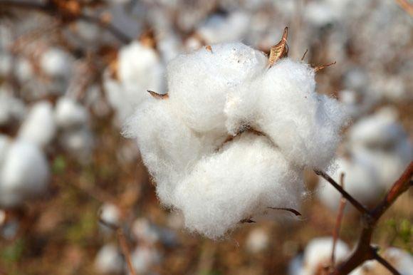Kain katun dibuat dari serat yang berasal dari tumbuhan apa ?  nah kalau sobat ingin tahu jawabannya, maka simak infonya disini