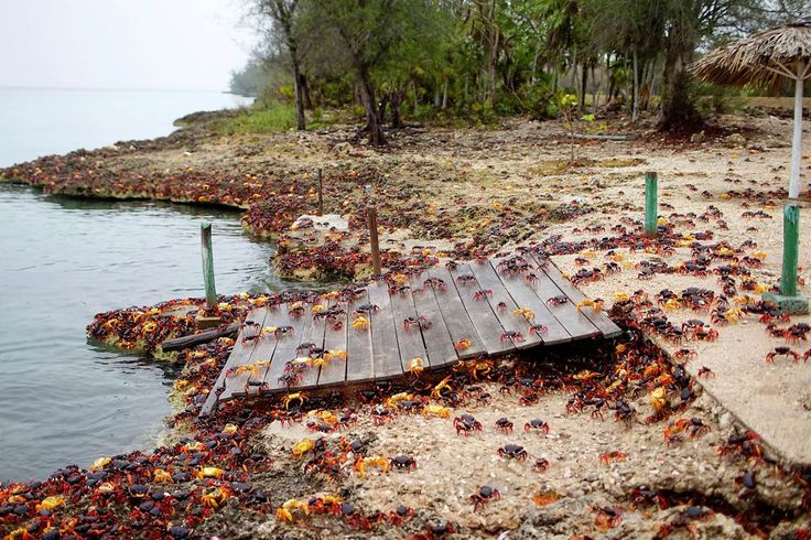 Millions of red, yellow and black land crabs migrated from the forest to the beaches of Playa Larga, Cuba.