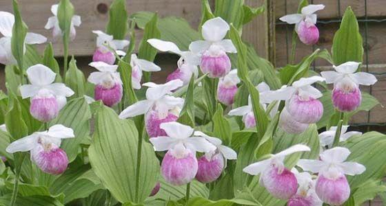 Frauenschuh-Orchideen für Schattenplätze - Mein schöner Garten