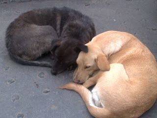 Two street dogs asleep side by side on a busy road in the hill station town of Darjeeling...