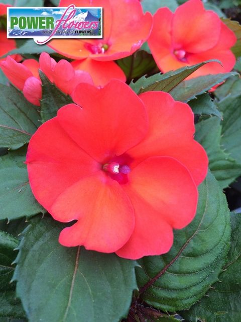 Sunpatiens Hot Coral Compact The First Impatiens To Thrive