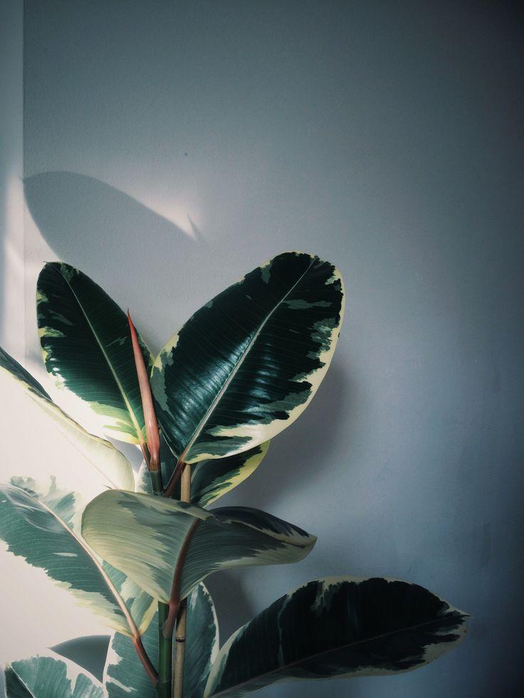 How to care for a Rubber Plant, or Ficus Elastica /// www.botanicstilllife.com