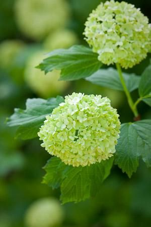 Viburnum opulus, Guelder rose. 'Sterile'  Flowers late spring, moist soil with lots of organic matter.