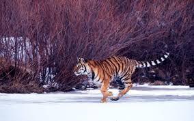 Risultati immagini per habitat tigre siberiana