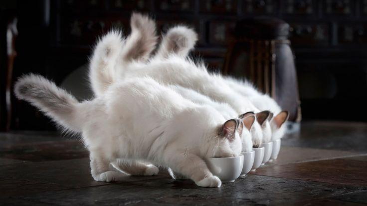 Скачать обои котята, белые, пушистые, обед, раздел кошки в разрешении 1366x768