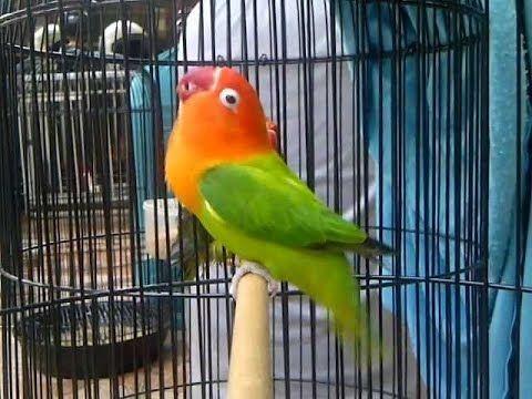 ▶ Lovebird Biola Ngekek Panjaaaang