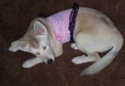 Pomsky Information and Pictures, Pomeranian / Husky Hybrid Dogs, Pomskies