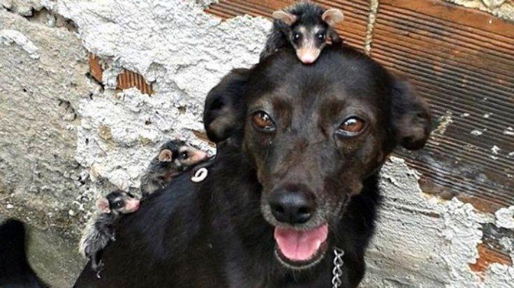 Cadela adota filhote de gambá e cuida deles como se fossem seus