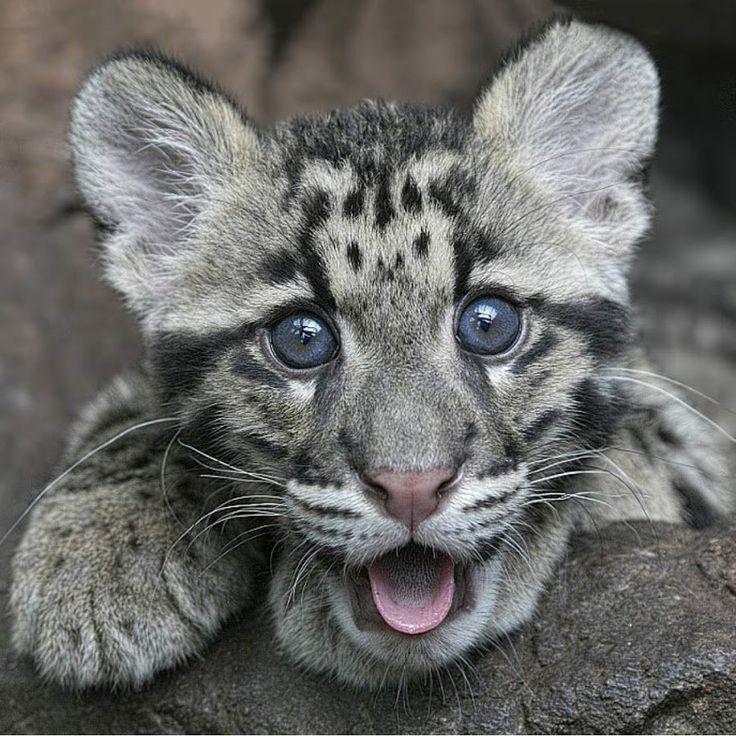 kitten clouded leopard