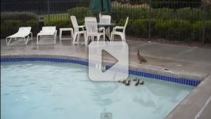 When a mama duck and her ducklings sought refuge from the rain inside a heated pool, none could have expected what would happen next--the babies got stuck! Thankfully, mom (and some humans) are very clever.